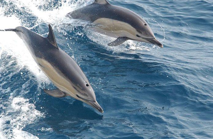 obični dupini, jadransko more