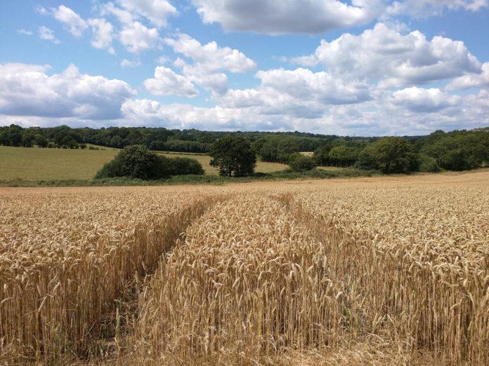 poljoprivreda, pšenica