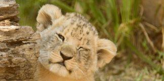 lav, lavić, lavovi