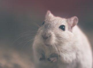 miš, miševi, glodavci