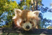 crvena panda, zoo zagreb, zoološki vrt