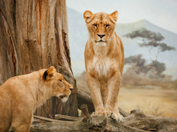 dvije lavice u divljini, safari, afrika
