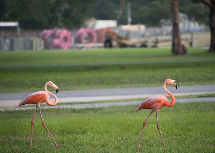 životinje, flamingosi, priroda